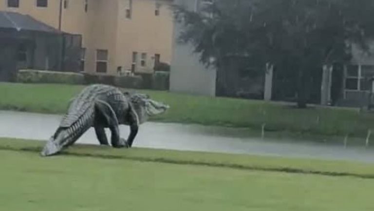 """Грамаден алигатор """"пробва"""" голф игрище във Флорида (видео)"""