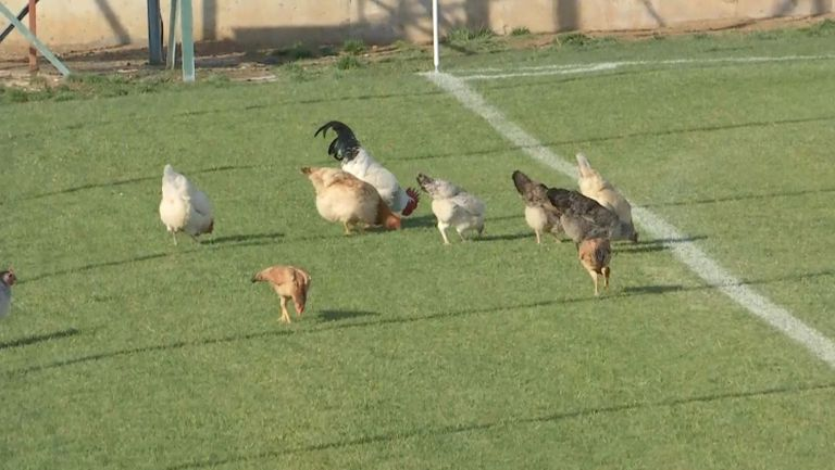 Селскостопански животни на контролата на Локомотив (София) в Турция